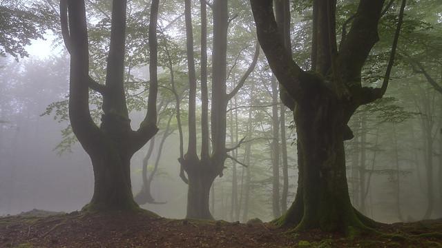 Hayedo trasmocho en el Parque Natural del Gorbea