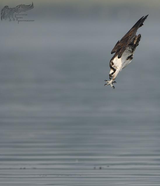 Osprey 8_17 2