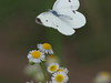 Photo:Small white butterfly (モンシロチョウ) By Greg Peterson in Japan