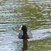 Coot going swimming in Weald Country Park