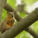 Squirrel, Cantigny Park. 57 (EOS) by Mega-Magpie