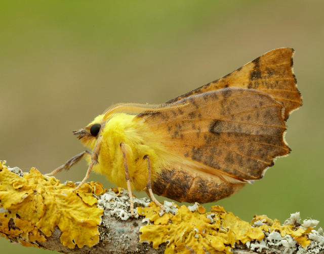 Canary-shouldered Thorn Ennomos alniari