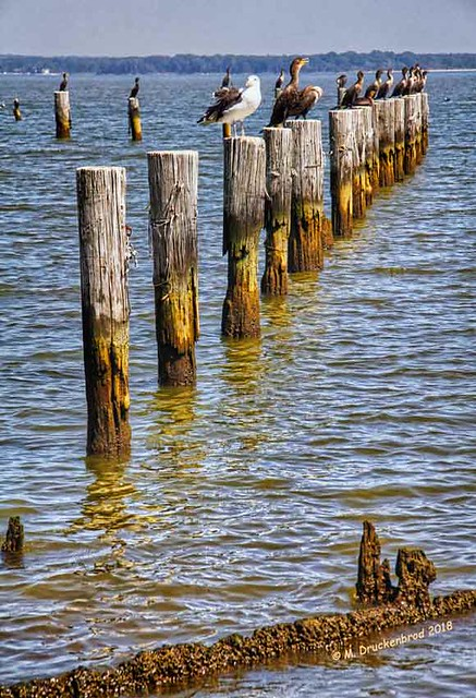 Waterbirds atop Wooden Pier Pilings at Colonial Beach VA