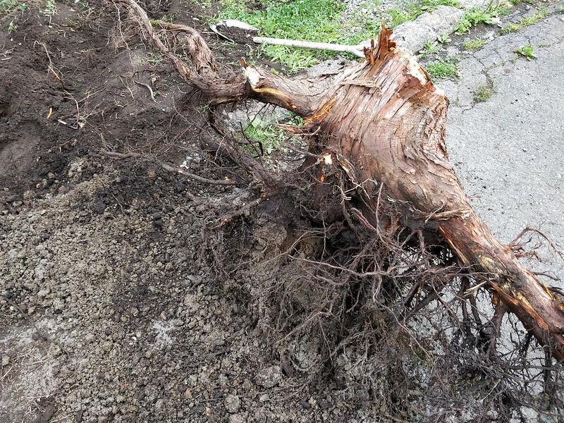 巨木の根を引き抜く (12)