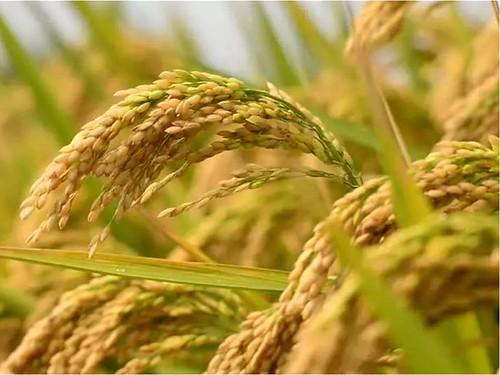 चावल में आर्सेनिक