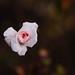Fue el tiempo que pasaste con tu rosa lo que la hizo tan importante by Dennise.RG