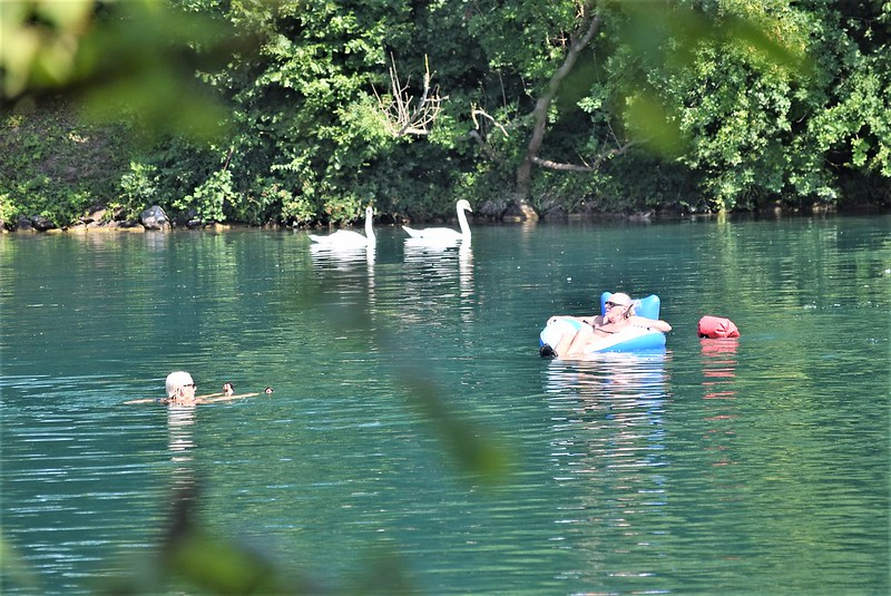 Swans and swimmers on the Aare