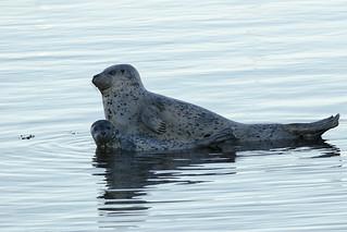 20160818 Oak Bay Seals