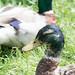 Ducks in Weald Country Park