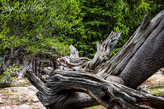 The Ancient Bristlecone Pine Tree