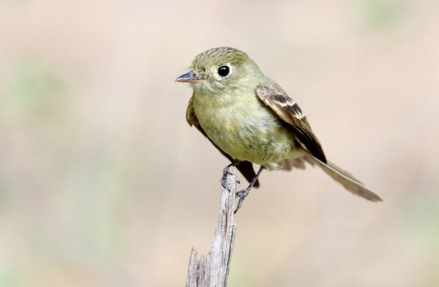 Cordilleran Flycatcher (Empidonax occidentalis); Santa Fe National Forest, NM, Thompson Ridge [Lou Feltz]