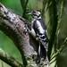 Woodpecker Watchtree Nature Reserve F00304 D210bob DSC_3836