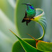 Green Violet-ear hummingbird by Eric Gofreed