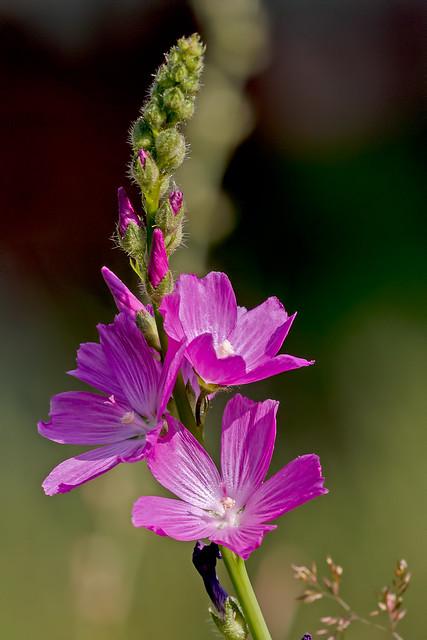 Wild-Flower-28-7D1-073118