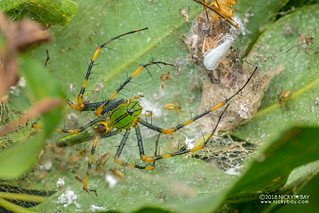 Green lynx spider (Peucetia madagascariensis) - DSC_7249
