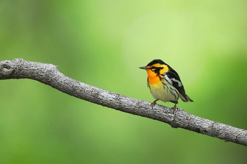 Paruline à gorge orangée / Blackburnian warbler (2)