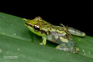 Tsarafidy Madagascar Frog (Guibemantis pulcher) - DSC_7260