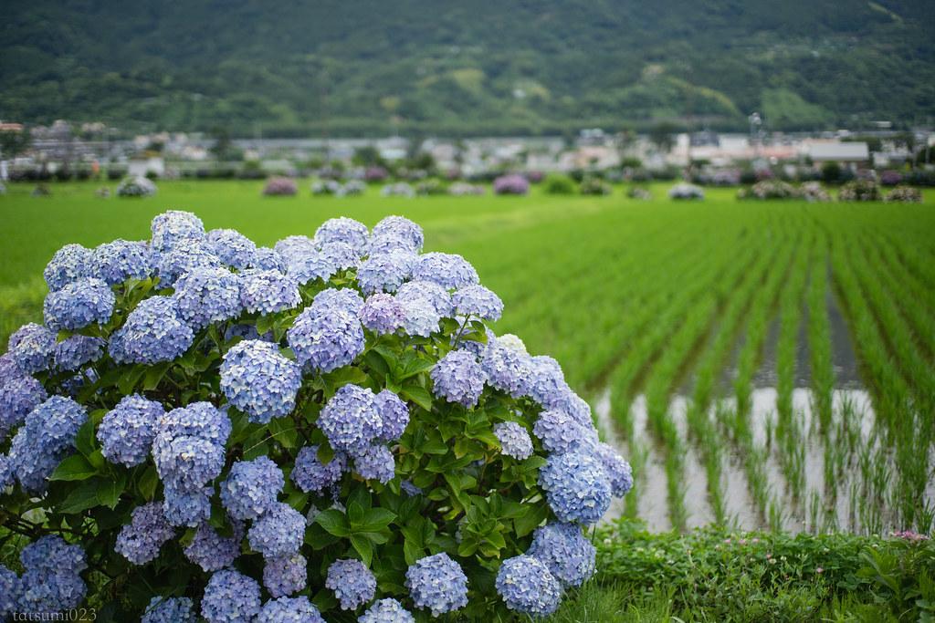 2018-06-16 開成町の紫陽花 002