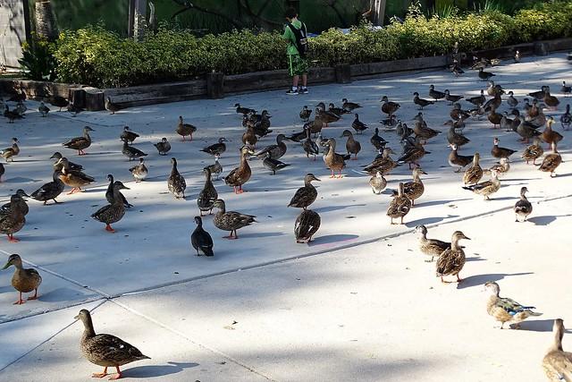 81318-24, Ducks On The Walkway