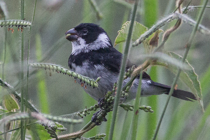 Black-and-white Seedeater   - male