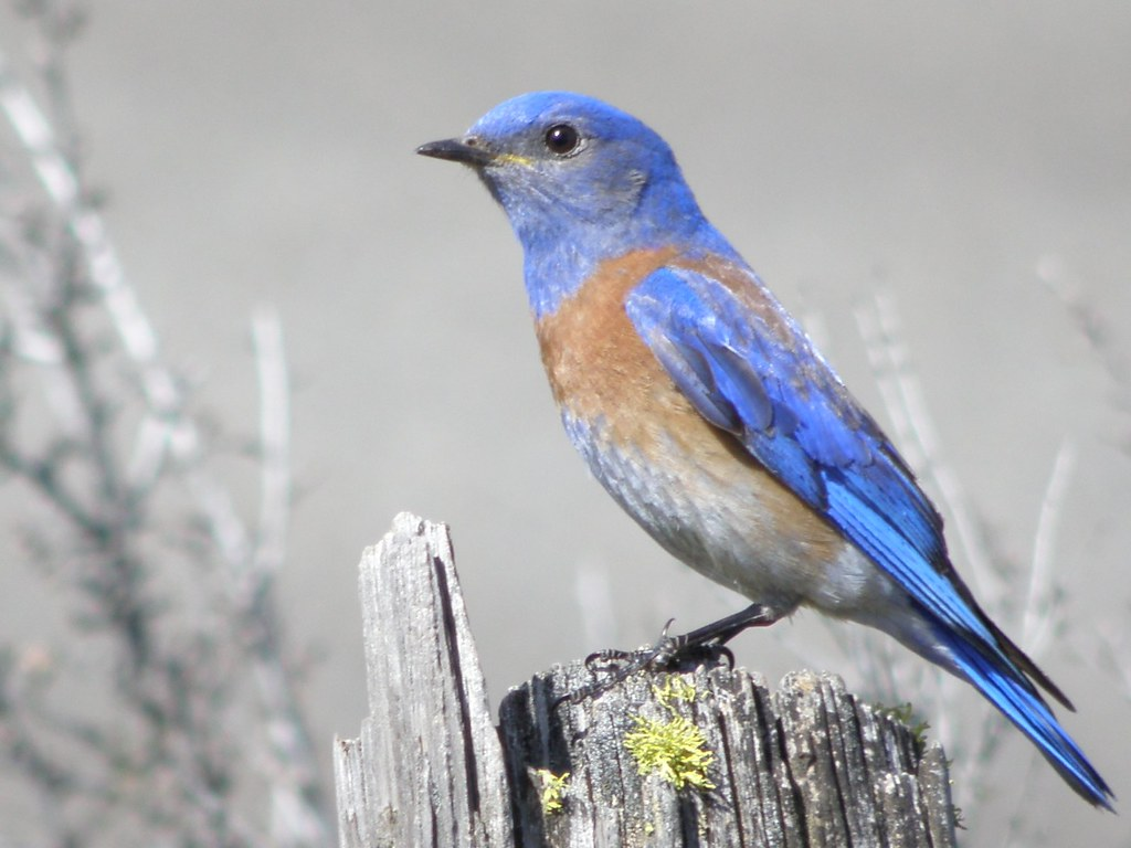 P4146921...BLUEBIRD, Western