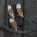 3 Barn owl fledglings by Phil D 245