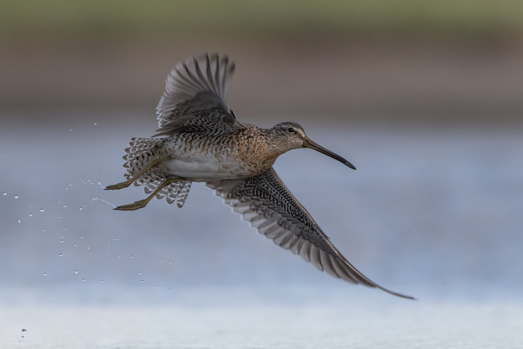 Bécassin roux / Short billed Dowitcher