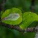 Firethorn Leafminer - Phyllonorycter leucographella