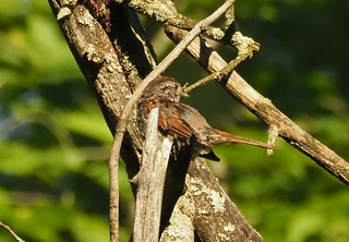 Swamp Sparrow by Kathy Murphy