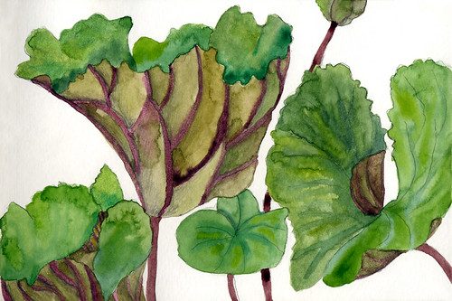 watercolour painting of the large Ligularia leaves