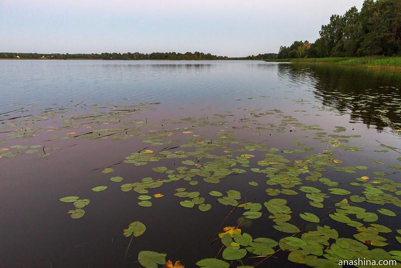 Кувшинки, озеро Мстино