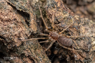 Crevice weaver spider (Afrofilistata fradei) - DSC_3858