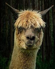 Alan Alpaca . . . . . . . #alpacasofinstagram #alpaca #cute #whataface #handsomedevil #alpacalove #alpacagram #chrislord #chrislorddotnyc #pixielatedpixels #creativeimages #creativephotography #art #artofnature #gallery_of_magic #sweetcritters #nature_wiz
