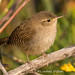 House Wren by Lindell Dillon