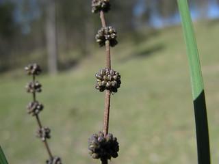 Lomandra multiflora flower male NC5