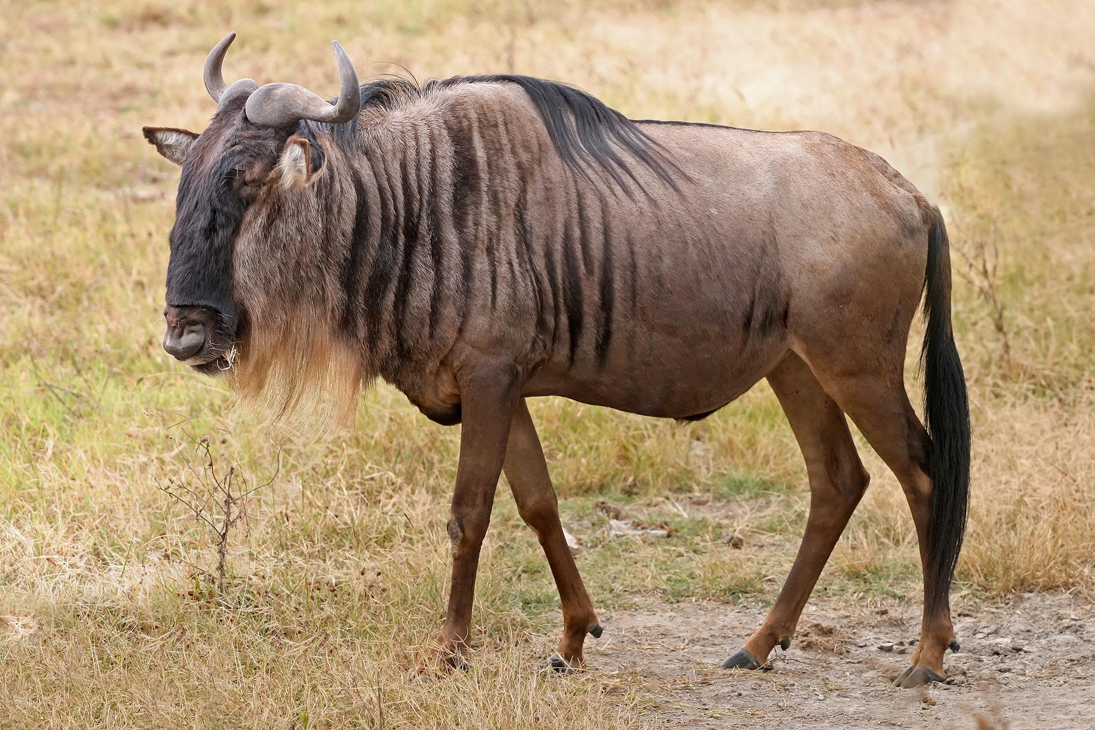 A Blue Wildebeest (Connochaetes taurinus) in the Ngorongoro Crater, Tanzania. Photo taken on June 16, 2010.