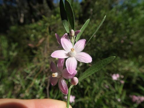 Eriostemon australasius flower NC5