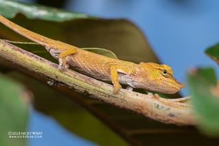 Nose-horned chameleon (Calumma nasutum) - DSC_7051