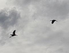 Cigognes dans le ciel de l'Allier