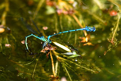 Azure damsel flies paired with the female laying eggs below the surface