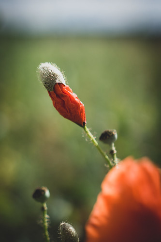 Corn Poppy / Klatschmohn