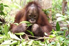 Kuba orangutan orphan Orangutan of the Month Orangutan Foundation International