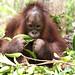 Orangutan of the Month: Kuba