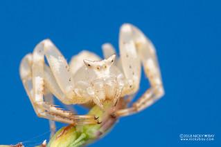 Crab spider (Thomisus citrinellus) - DSC_2668
