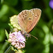 Speckled Wood, on Scabious