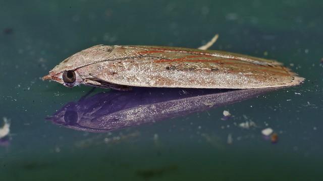 Wedge shape vein line moth Tirathaba sp aff rufivena Tirathabini Galleriinae Pyralidae Airlie Beach rainforest P1020467