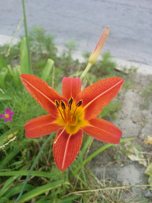 Tiger lily by the road #toronto #highparknorth #pacificave #flowers #orange #tigerlily #lilies