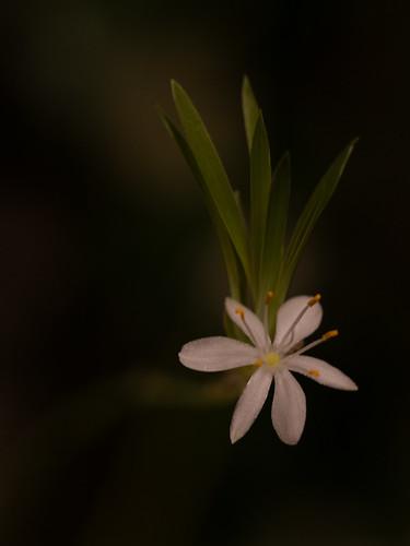 Grünlilie dunkel