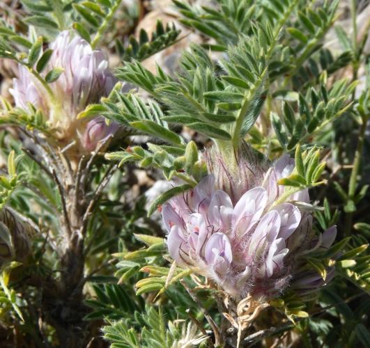 Astragalus sempervirens 29612233778_e1ee43fc08_o