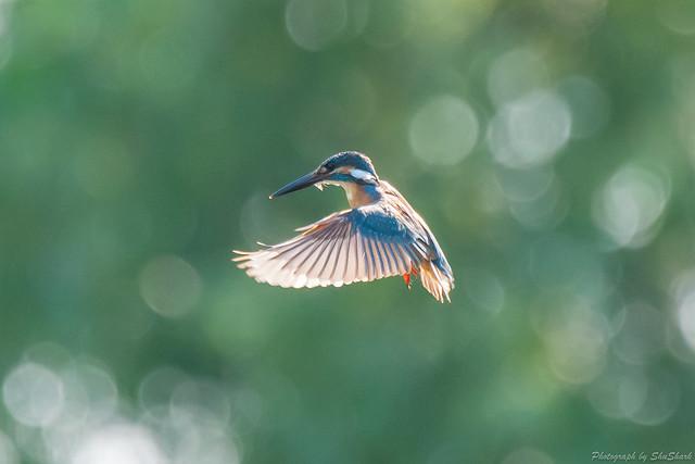 20180714-kingfisher-DSC_6150